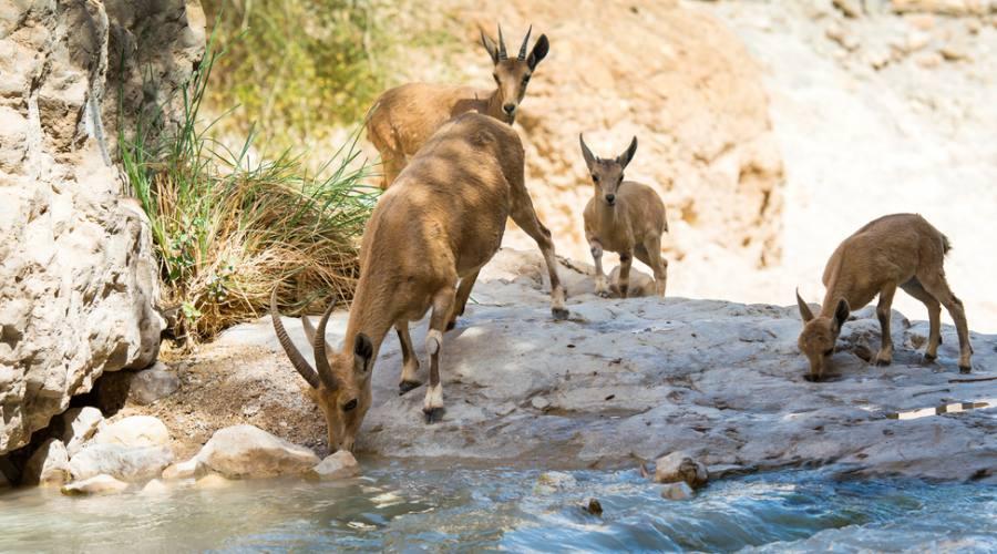 Ibex nel Deserto di Giudea