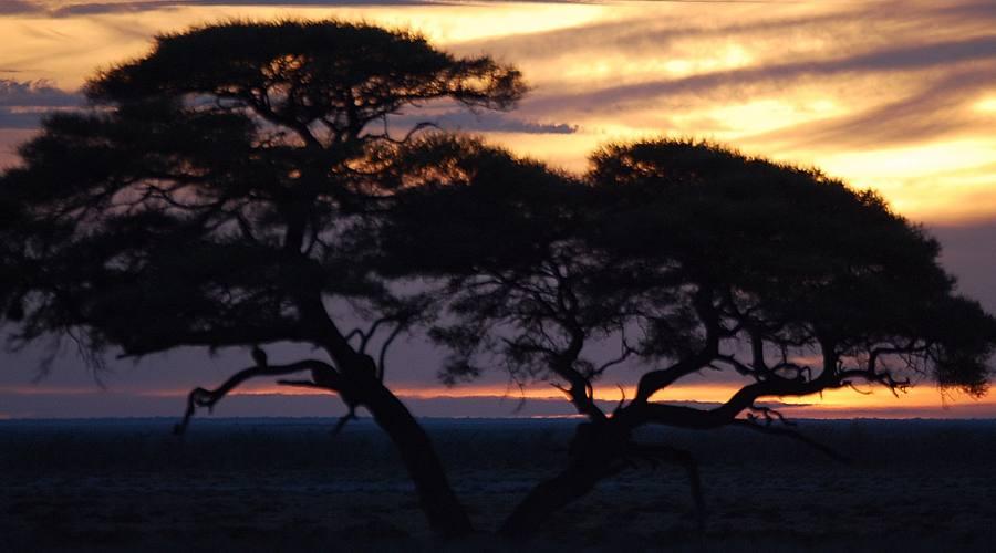 alberi di acacia  al tramonto