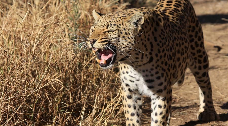 leopardo nel parco Etosha