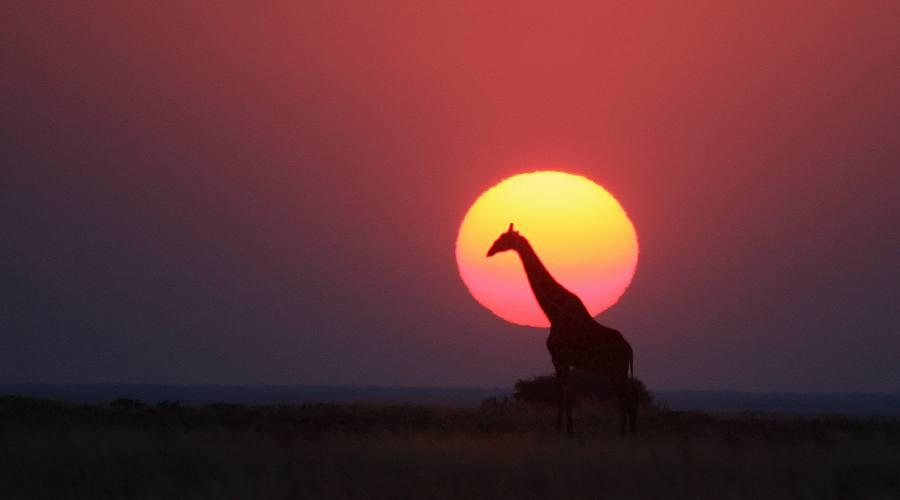 giraffa al tramonto in etosha