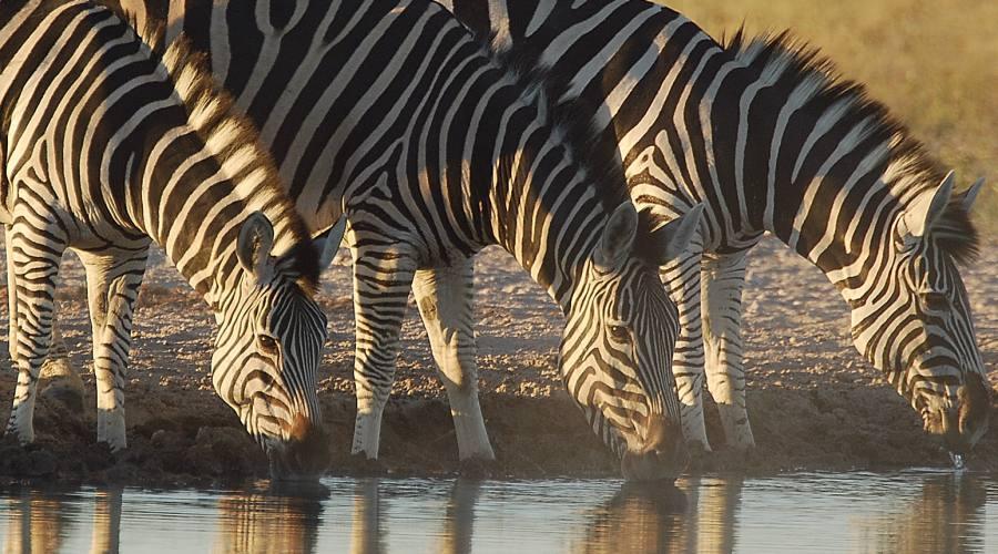 zebre in Etosha