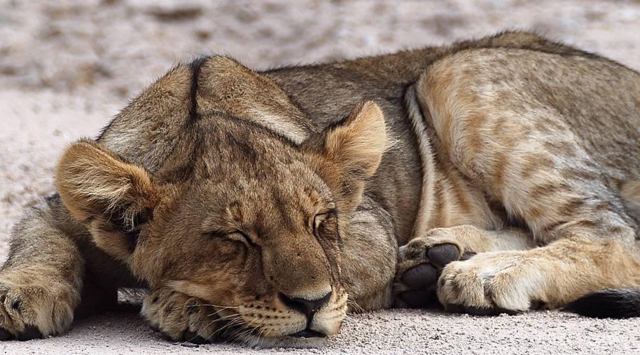 leone nel parco Etosha