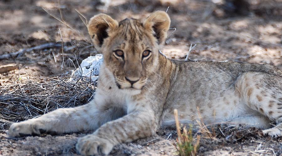 cucciolo di leone in etosha