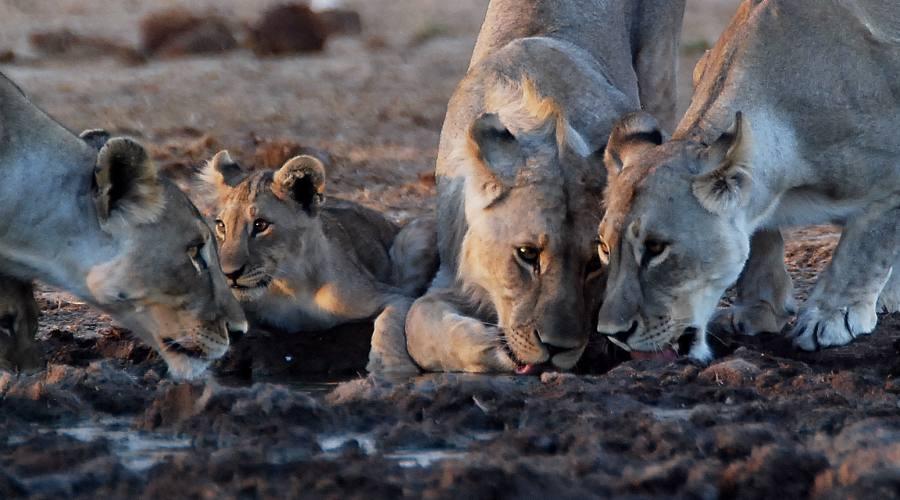 pride di  leoni