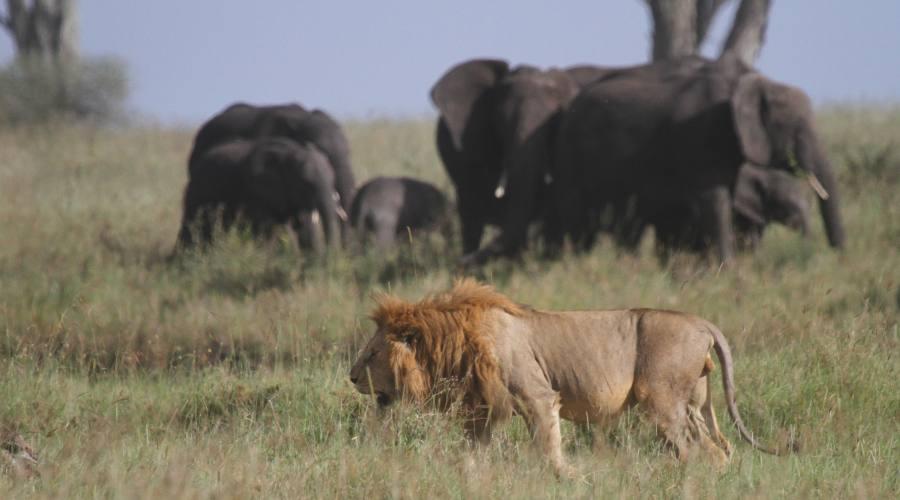 leone ed elefanti