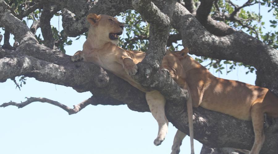 leoni sull'albero lago Masek
