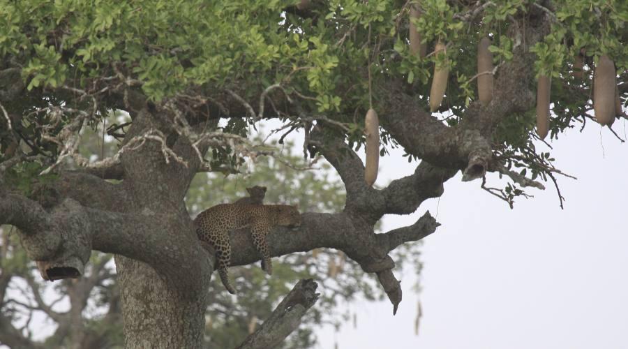 leopardo con cucciolo su un albero delle salsicce Serengeti