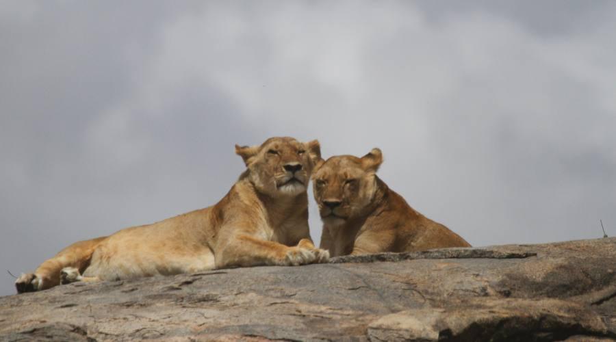 leonesse nel Serengeti