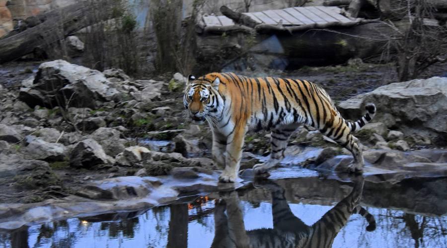 Tigre a Chitwan