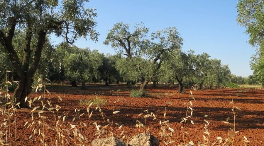 a spasso tra gli ulivi