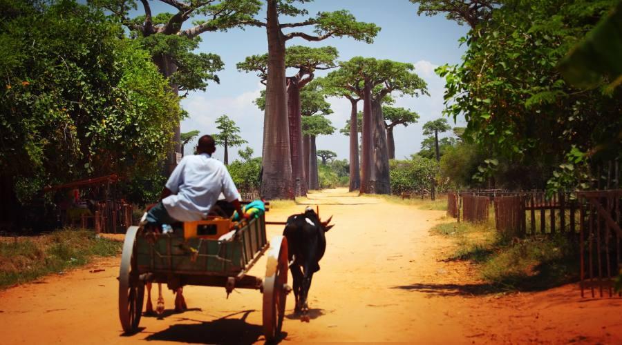 Avenue du Baobab