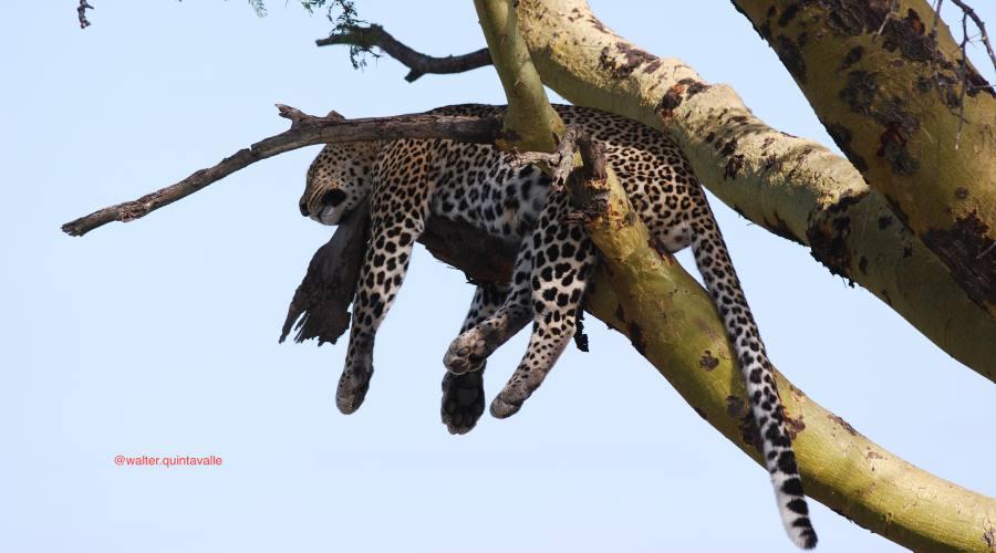 Leopardo a riposo