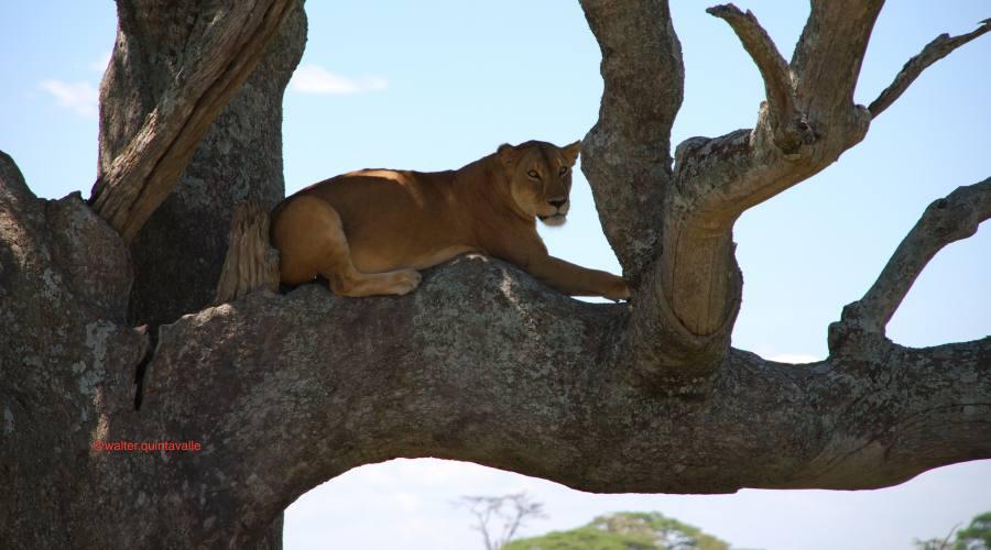 Leonessa nel Serengeti