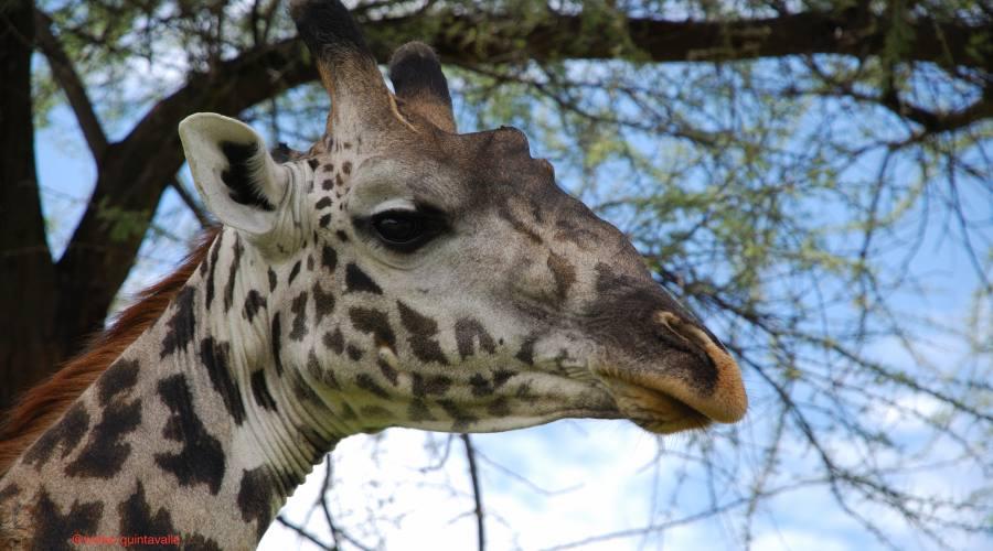 Giraffa curiosa