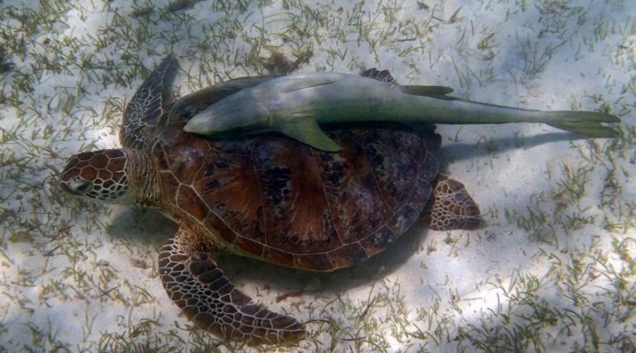 tartaruga verde e pesci ventosa attaccati