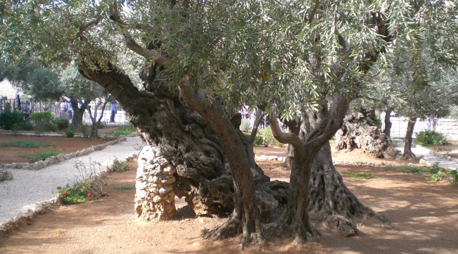 Orto degli Ulivi - Gerusalemme