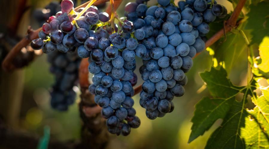 le uve del Chianti