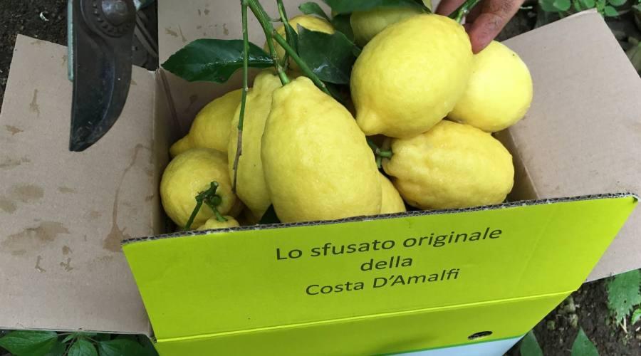 I tradizionali limoni della Costiera Amalfitana