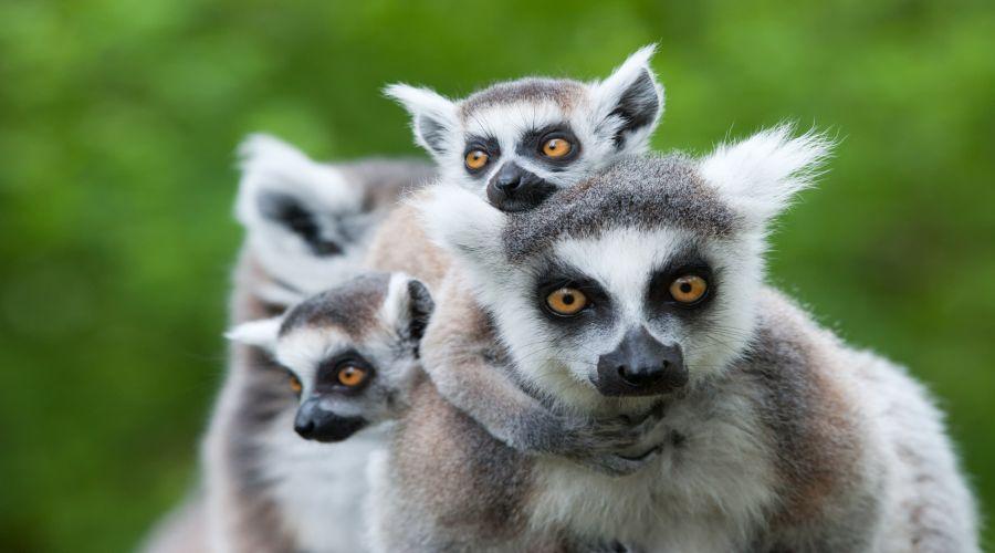 I lemuri del Madagascar