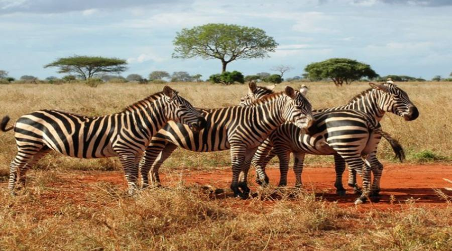 zebre al parco tsavo