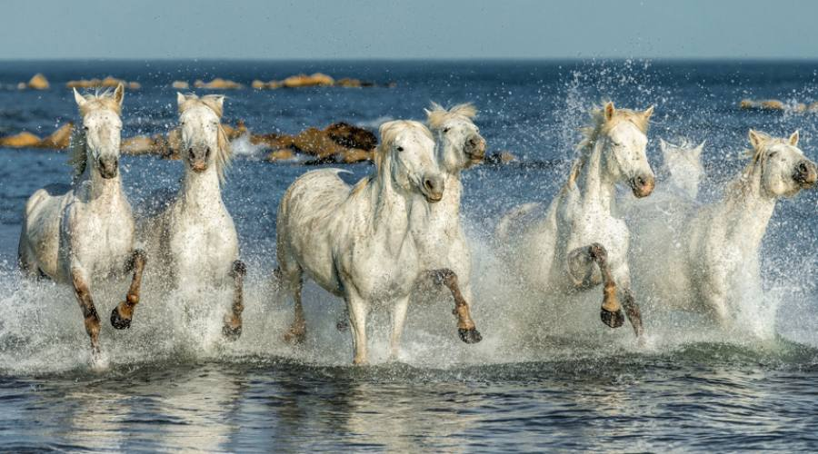 I cavalli bianchi della Camargue