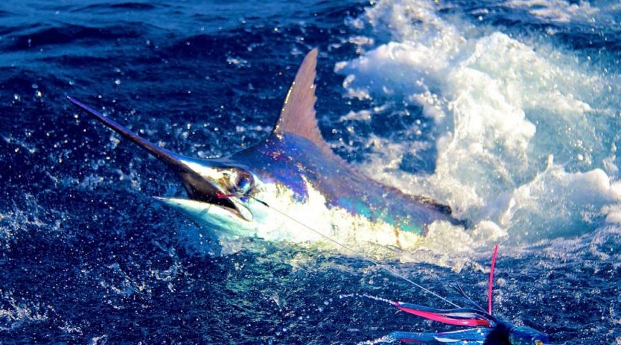 Pesca del Blu Marlin