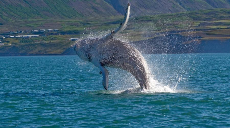 Avvistamento Balene Whale watching Islanda