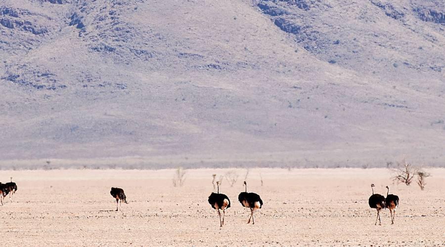 struzzi nella namib rand reserve