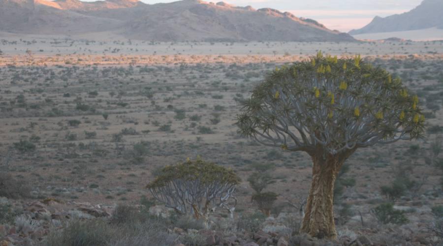 albero faretra nel deserto del namib