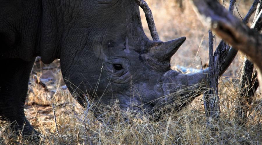 Rinoceronte a Balule
