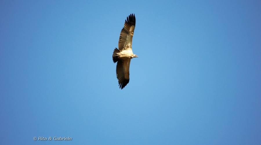 Avvoltoio