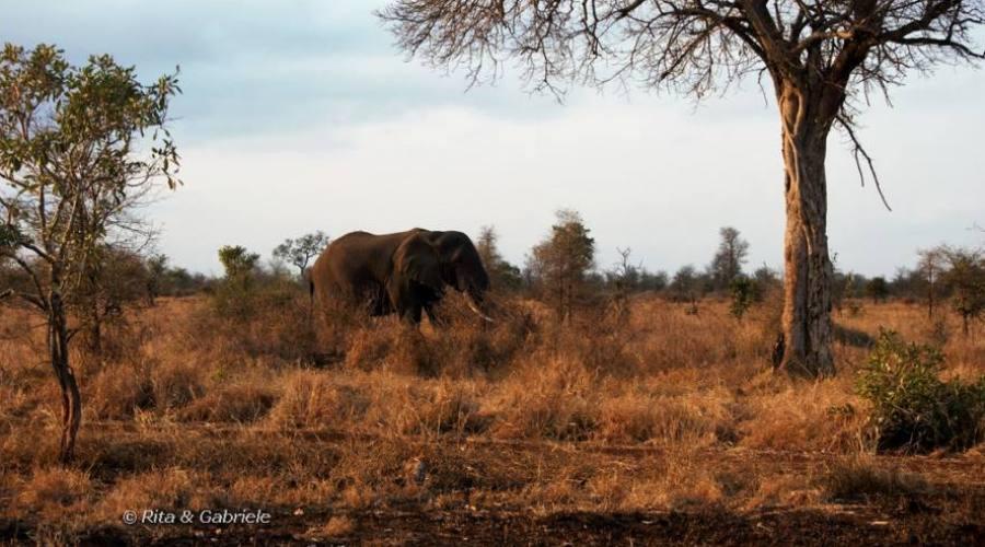 Elefante al Kruger