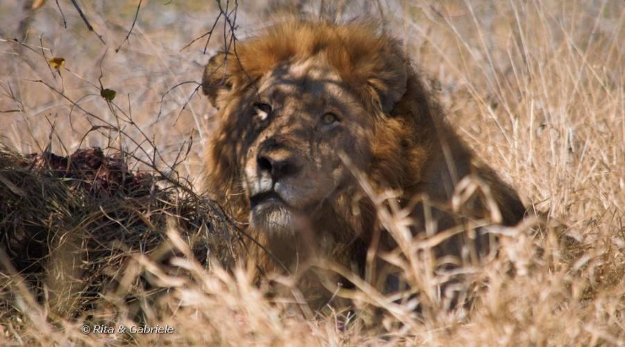Leone al Kruger