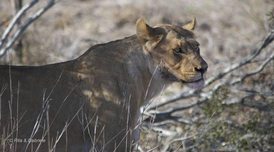 Leonessa al Kruger