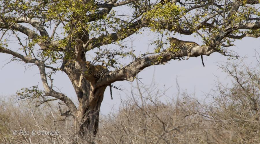 Leopardi al Kruger