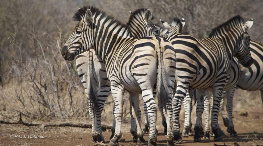 Zebre al Kruger