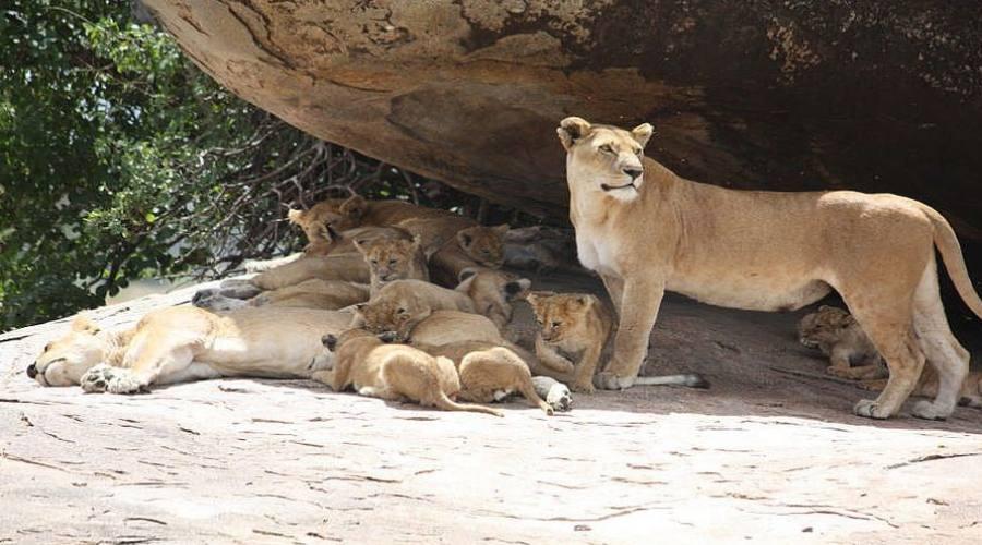 leonesse con i cuccioli