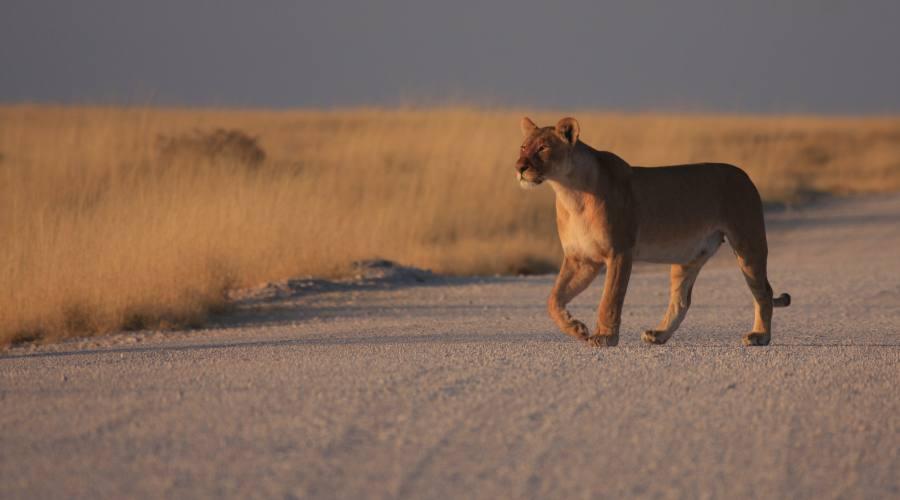 leonessa in Etosha