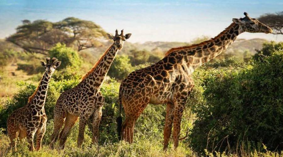 Gireffe al parco Tsavo