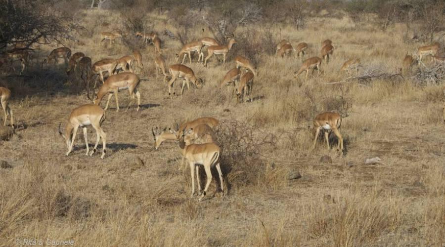 Impala Kruger