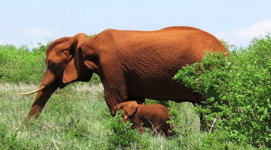 elefanti al parco Tsavo