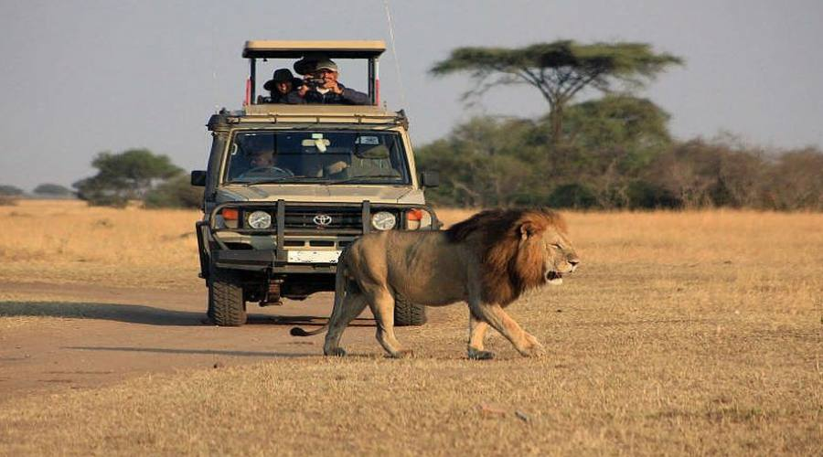 avvistamento leone