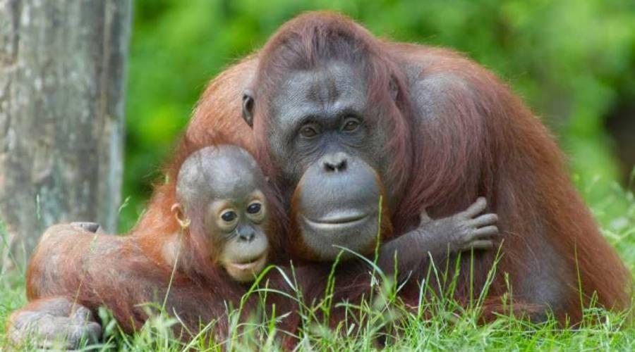 "Centro degli ""Orangutan"
