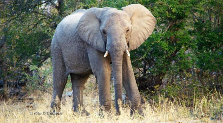 Elefante durante un safari