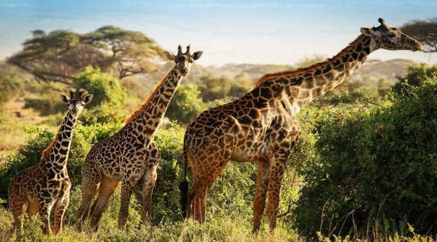 Giraffe al parco Tsavo
