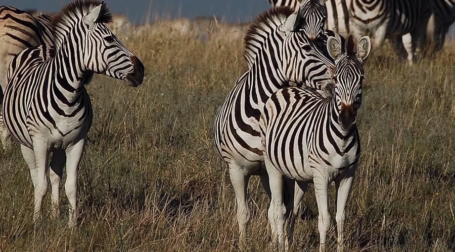 zebre nel Kruger