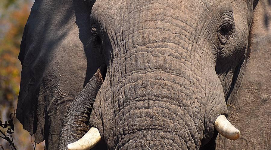 elefante - primo piano