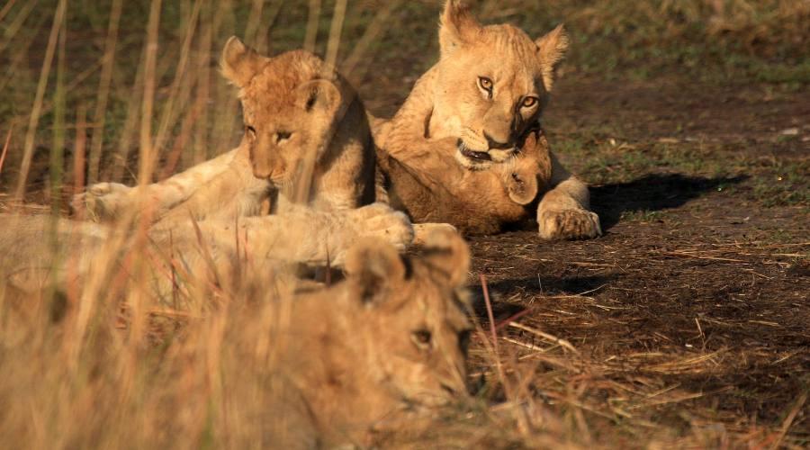leoni nel parco Kruger
