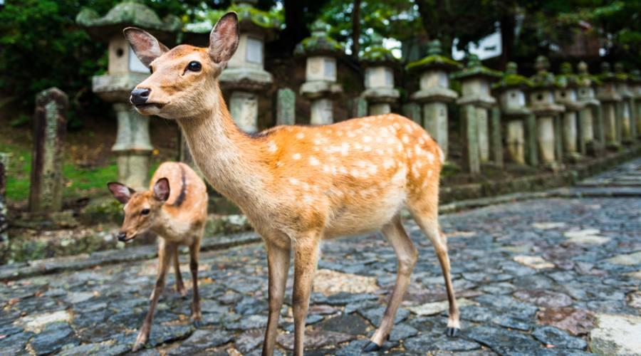 I cervi di Nara