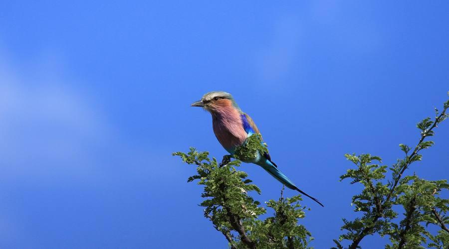 ghiandaia nel parco Kruger